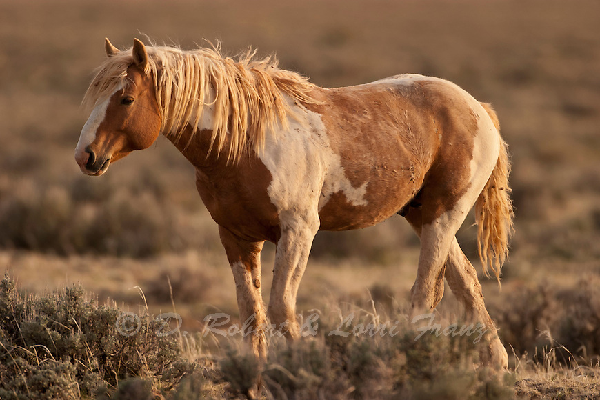 Wild Horse Or Mustang Yellowstone Nature Photography By