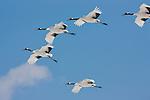 Japanese cranes in flight, Hokkaido, Japan