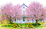 Cherry Blossoms in April in Sayville