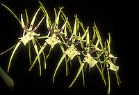 Brassia maculata 'Majus' (Spider Orchids)