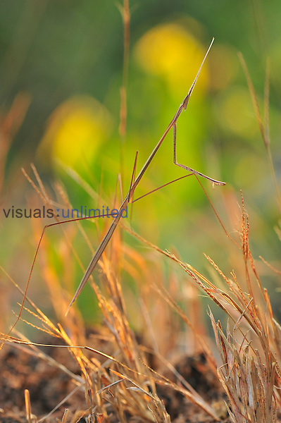 Indian Grass Mantis (Schizocephala bicornis), Agumbe Rainforest, Western Ghats, India