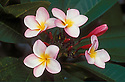 pink Plumeria blossoms on tree (Plumeria sp. hybrid); Saipan.