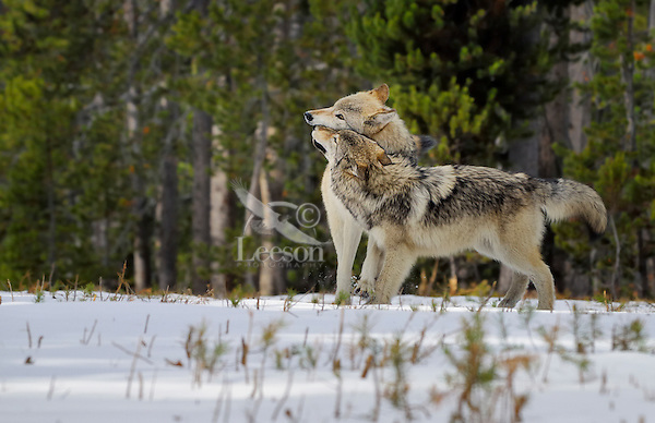 Wild GRAY WOLVES (Canis lupus) greeting--closer or small wolf is approximately 6 month old pup greeting his mother.  Greater Yellowstone Ecological Area.  Fall.