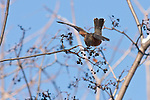 An American Robin lands on a patch of berries to eat