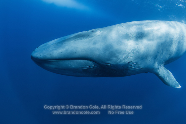TC0159-D. Blue Whale (Balaenoptera musculus) underwater. Feeds on krill and other small crustaceans such as copepods, swallows huge clouds of the tiny invertebrates and then strains out water by using the baleen plates hanging from top jaw. Found throughout the world in polar and temperate seas, usually solitary or in pairs though sometimes in large aggregations at feeding grounds. Pacific Ocean.<br /> Photo Copyright &copy; Brandon Cole. All rights reserved worldwide.  www.brandoncole.com
