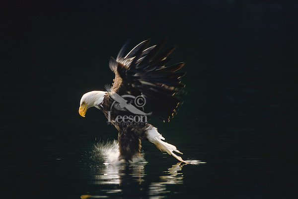 Bald eagle (Haliaeetus leucocephalus) fishing.