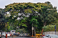 Flowering trees canopy even Bangalore, India's busiest streets.