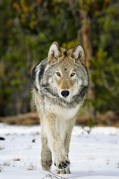 Wild GRAY WOLF (Canis lupus).  Greater Yellowstone Area.  Fall.