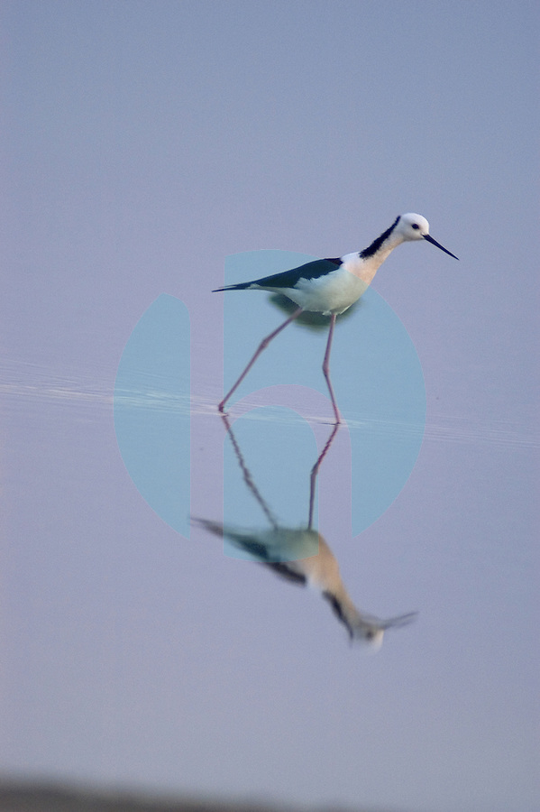 September 30th 2003_Dili,East Timor-A Black-winged Stilt fishes at the edge of Tasitolu Lake near the Timories capital Dili.  These birds are resident to Timor.  Photograph by Daniel J. Groshong/Tayo Photo Group