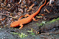 SPOTTED NEWT<br /> Terrestrial Red Eft Stage<br /> Notophthalmus viridescens. The juvenile eft lives on land while the egg larvae and adults are aquatic. It produces toxic secretions on its skin to deter predators. Amphibians are indicators of environmental quality