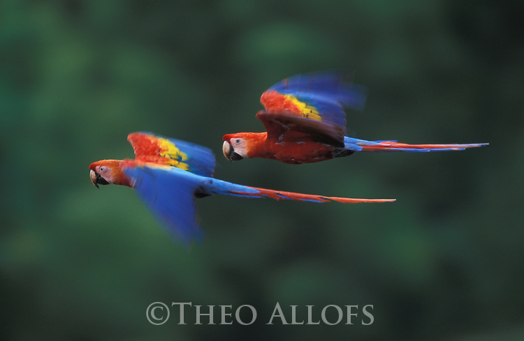 Scarlet Macaws flying, Peru, Amazonia, Tambopata River