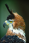 Ornate Hawk Eagle, Mexico