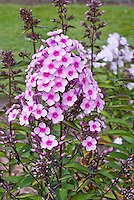 Phlox paniculata 'Miss Pepper' (58), pink with dark pink eye, red stems