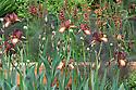 Homebase Teenage Cancer Trust Garden, designed by Joe Swift, RHS Chelsea Flower Show 2012. Plants include coppery Iris 'Langport Wren', Verbascum petra and bronze fennel (Foeniculum vulgare 'Purpureum').