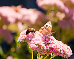 Butterflies and bees share their common interest in the flower garden outside the tasting room at Village Winery and Vineyards.