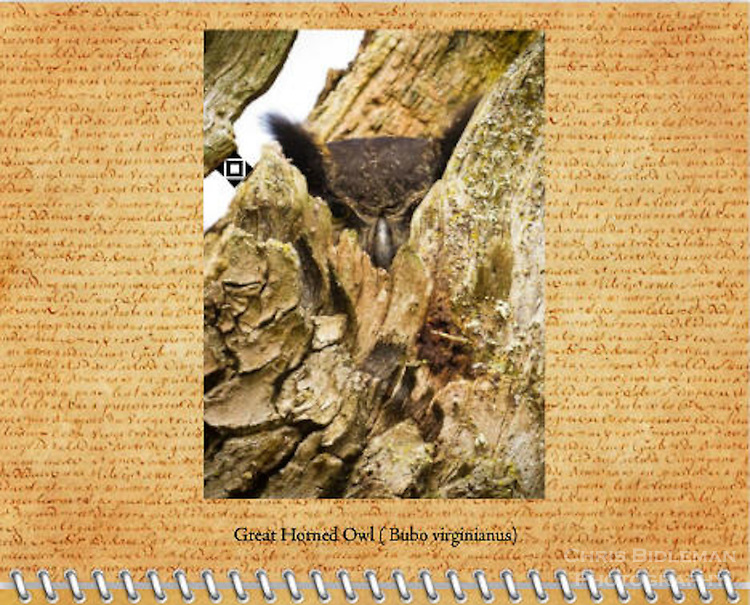 2015 Calendar - Birds of a Feather with photography by Chris Bidleman.<br /> A Great Horned Owl ( Bubo virginianus) adult is peaking through cutout in tree hallow staring at viewer as it sits on it's nest in the Ridgefield National Wildlife Refuge.