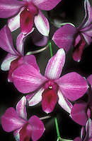 Dendrobium phalaenopsis hybrid: Den. Hepa 'Kristy' (Tomie x phalaenopsis) Orchid