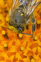 A bee shrouded in pollen as it harvest the nectar from a sunflower thus involuntarily taking care of pollinating the plant. One could believe that the foraging of pollen would be the main cause of pollination but it is in fact the collection of nectar which proves most effective for pollination.