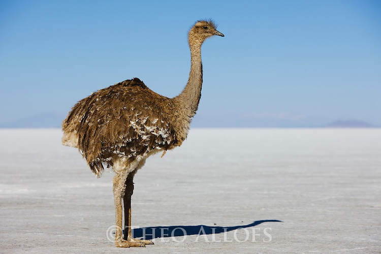 Bolivia, Altiplano, Salar de Uyuni, world's largest salt flat; lesser rhea (Pterocnemia pennata)