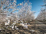 Almond trees in bloom during spring, Capay Valley, Calif.