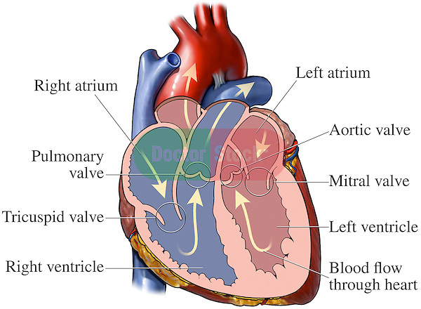 Kidney Diagram In Human Body likewise About Your Heart besides 3165135 besides Basic Anatomy together with Insect nervous systems. on basic diagram of circulatory system