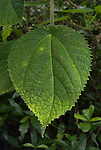 Stinging Tree, usually grows as a single-stemmed plant reaching 1 to 2 metres in height. It has large, heart-shaped leaves that are about 12 to 22 cm long and 11&ndash;18 cm wide, with finely toothed margins. The species is an early coloniser in rainforest gaps, seeds germinate in full sunlight after soil disturbance. Contact with the leaves or twigs causes the hollow silica-tipped hairs to penetrate the skin. The sting causes a painful stinging sensation which can last for days or even months and the injured area becomes covered with small red spots joining together to form a red, swollen mass. The sting is known to have killed one human, and it can also kill dogs and horses. One can suffer even if the plant is not touched. The plants continuously shed their stinging hairs. Stay close to the stinging trees for more than an hour, and one can get an allergic reaction - intensely painful and continuous bouts of sneezing. Nose bleeds can also happen from silicon hairs floating in the air..Dendrocnide moroides or Dendrocnide excelsa (also known as Laportea gigas)