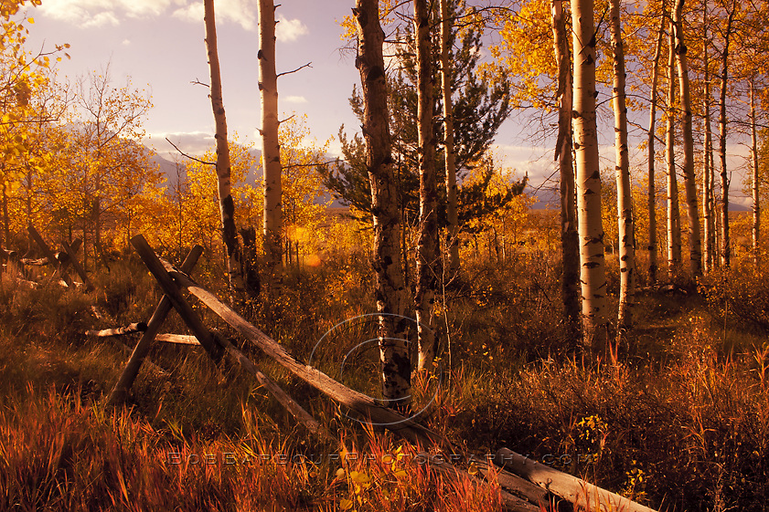 Split-rail fence in aspen grove, Antelope Flats, Wyoming