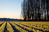 Poplar row and field of yellow dafodils at sunrise, Skagit Valley, Mount Vernon, Skagit County, Washington, USA