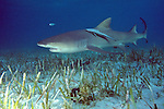 Captured Lemon Shark