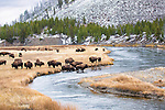 Bison hang out by the Madison River in Yellowstone National Park.