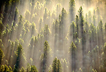 Aerial of a fir forest, Snoqualmie National Forest, Washington, USA