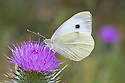 Large white / Cabbage white butterfly {Pieris brassicae} feeding on Spear thistle {Cirsium vulgare}. Oxfordshire, UK. July.