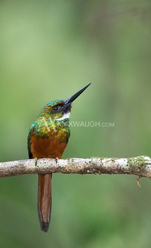 The Rufous-tailed jacamar is found in both Caribbean and Pacific rainforests.