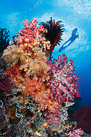 qp40492-D. scuba diver (model released) swims overtop healthy coral reef on which soft corals (Dendronephthys sp.), crinoids (also called feather stars), sponges and fish thrive. Indonesia, tropical Indo-Pacific Oceans.<br /> Photo Copyright &copy; Brandon Cole. All rights reserved worldwide.  www.brandoncole.com<br /> <br /> This photo is NOT free. It is NOT in the public domain. This photo is a Copyrighted Work, registered with the US Copyright Office. <br /> Rights to reproduction of photograph granted only upon payment in full of agreed upon licensing fee. Any use of this photo prior to such payment is an infringement of copyright and punishable by fines up to  $150,000 USD.<br /> <br /> Brandon Cole<br /> MARINE PHOTOGRAPHY<br /> http://www.brandoncole.com<br /> email: brandoncole@msn.com<br /> 4917 N. Boeing Rd.<br /> Spokane Valley, WA  99206  USA<br /> tel: 509-535-3489