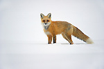 A red fox walks through the deep snows in Northwest Wyoming.
