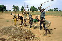 Mali. Province of Segou. Kondogola. Men at work in the fields. Sorghum harvesting and treshing. The sorghum is a tropical graminaceous. © 2003 Didier Ruef