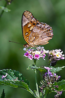 Mexican Fritillary Butterfly on Lantana
