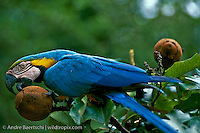 Blue-and-Yellow Macaw (Ara ararauna) about to open an unripe seed pod of a Brazil nut tree (Bertholletia excelsa), lowland tropical rainforest, Tambopata National Reserve, Madre de Dios, Peru.