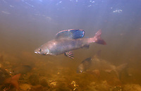Arctic Grayling<br /> <br /> PAUL VECSEI/ENGBRETSON UNDERWATER PHOTO