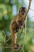 Black-striped Capuchin young (Sapajus libidinosus), Mato Grosso, Pantanal, Brazil