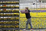Foto: VidiPhoto<br /> <br /> HUISSEN - Pools personeel van Kwekerij 't Kleintje in Huissen bij Arnhem, moet dinsdag vol aan de bak om een grote order van 300.000 viooltjes uit Duitsland op tijd gereed te krijgen. Normaal gesproken begint het seizoen voor tuin- en perkplanten pas in week tien, maar doordat in Zuid-Duitsland komende weekend de temperaturen flink omhoog gaan willen de tuincentra daar al voldoende voorraad hebben voor de enorme vraag die er verwacht wordt. In Nederland is er volgens eigenaar Henk Wagener nog nauwelijks vraag naar perkgoed. De Huissense kweker verwerkt de komende maand in 3 ha. kassen, zo'n 2 miljoen violen in vijftien verschillende kleuren. Viooltjes staan al jaren op nummer &eacute;&eacute;n als populairste voorjaarsplant. Tachtig procent van de voorraad van 't Kleintje gaat naar het buitenland.