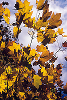 FALL FOLIAGE<br /> Armistice maple (Acer platanoides)<br /> Brooklyn Botanical Garden. In the autumn, trees stop photosynthesis. As the green chlorophyll disappears from the leaves, yellow orange and red become visible.