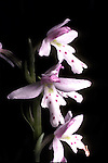 Small Round-leaved Orchis