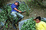 Workers rest over harvested coca leaves in Orito, in the southern state of Putumayo. As part of a U.S. backed massive fumigation campaign, Colombian government troops have fumigated an estimated 62,000 acres in Putumayo, the world's cocaine heartland, but peasants continue to cultivate coca. (Photo/Scott Dalton)