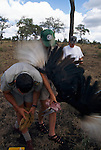Unwilling subject, a southern ground hornbill tries to escape Alan Kemp (green cap) and veterinarian Douw Grobler. After being sedated and measured and having his blood sampled, the male finds his way back to his lifelong mate.