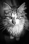 Domestic Long Hair Tabby.  Owner: Vicky DeCenzo