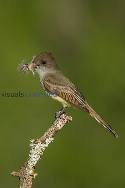 Dusky-capped Flycatcher (Myiarchus tuberculifer) perched on a twig with nest material in its bill, Huachuca Mountains, Southern Arizona, USA.