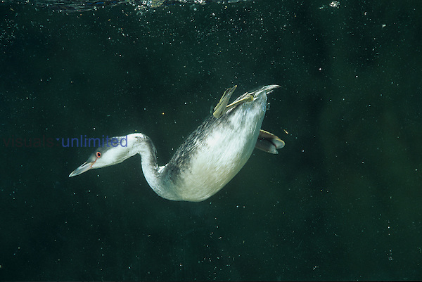 Horned Grebe diving and swimming underwater (Podiceps auritus), North America.