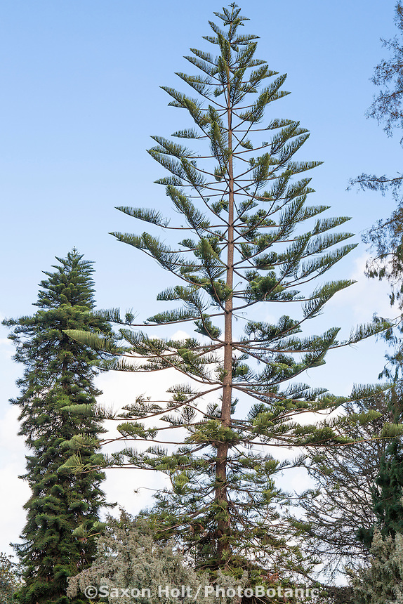 Araucaria heterophylla (Norfolk Island pine) conifer tree