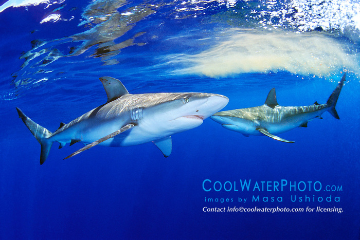 Galapagos sharks, .Carcharhinus galapagensis, .North Shore, Oahu, Hawaii (Pacific)